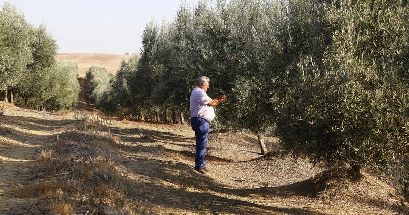 Córdoba, la provincia líder en olivar ecológico
