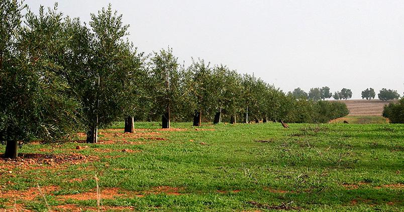 Plantas para rentabilizar las cubiertas vegetales del olivar