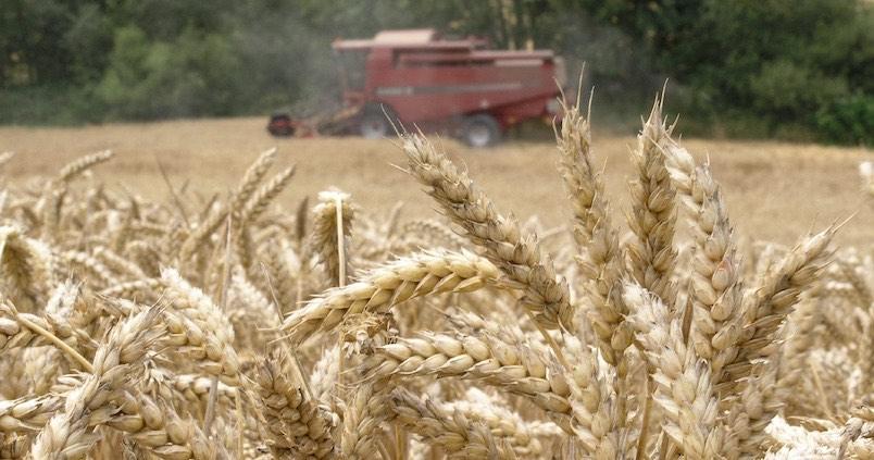 Andalucía se consolida como la mayor productora de trigo duro de España