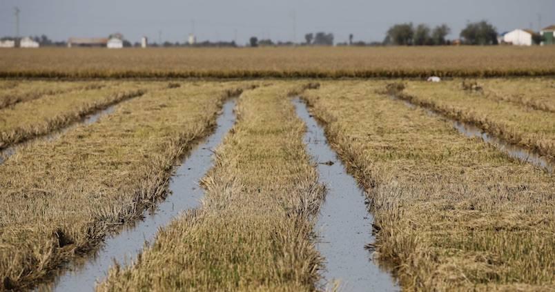 El Puerto de Sevilla pide una solución a la salinidad de los arrozales