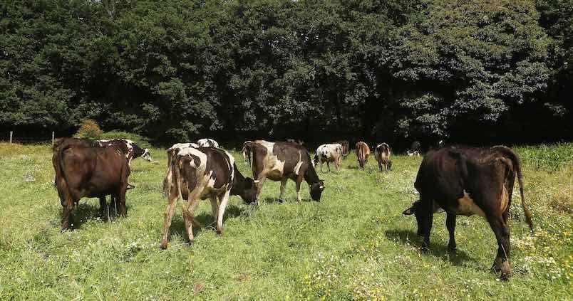 vacas-recurso-miguelmuniz