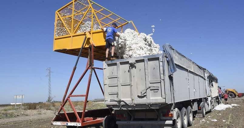 Acaba la campaña de algodón en Córdoba con bajo rendimiento