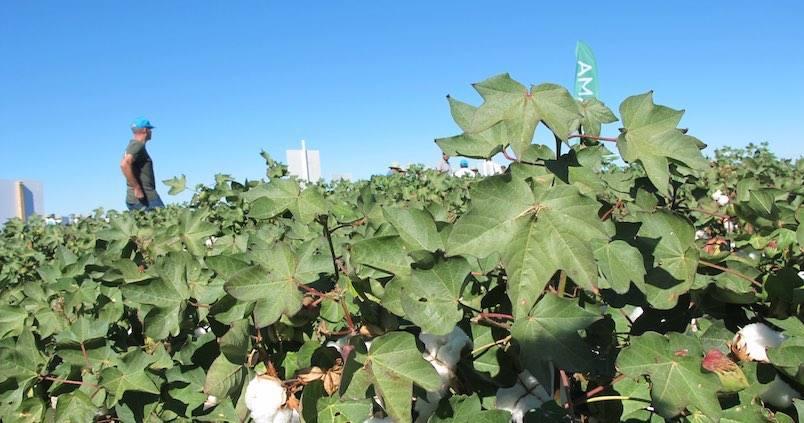Algodón: ¿en qué situación se encuentra el cultivo en Sevilla?