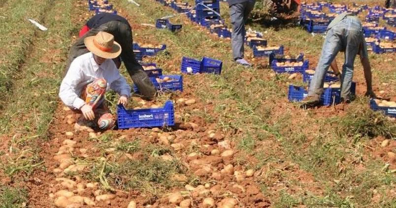 El futuro del cultivo de la patata, a debate después de varios años difíciles