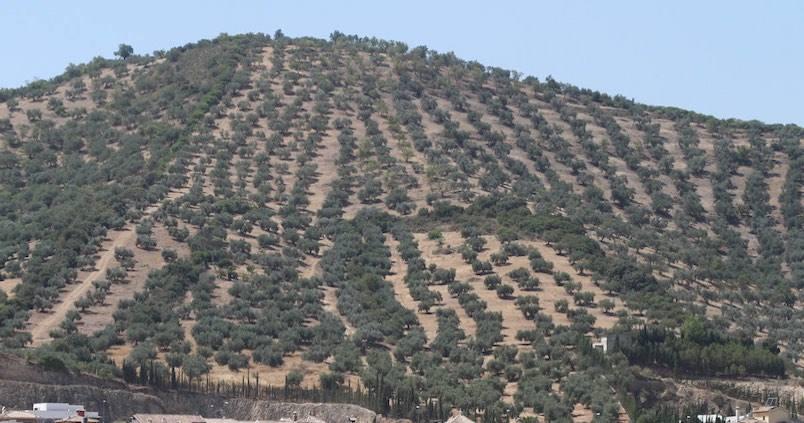 olivar-cordoba-miguelangel
