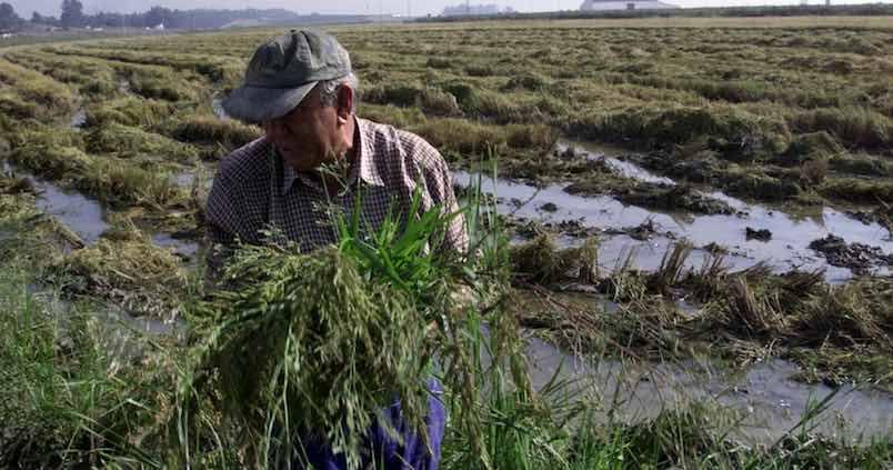 A final de semana se habrá recolectado casi el 100% del arroz