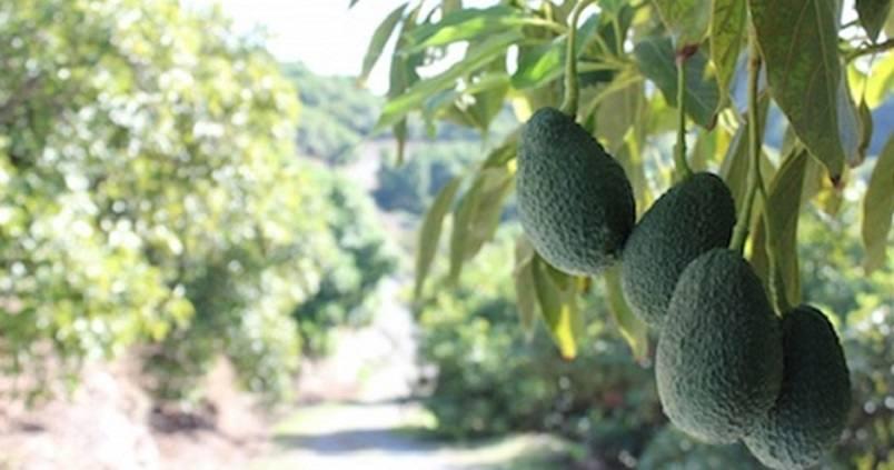 aguacate-cultivo-malaga