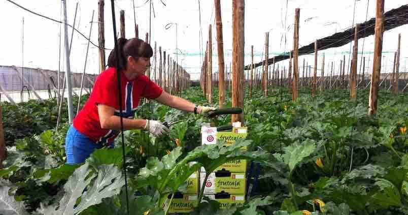 El calabacín se presenta como un «refugio» para los agricultores almerienses