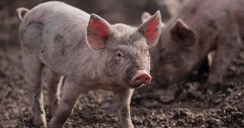 cerdo-lechon-porcino
