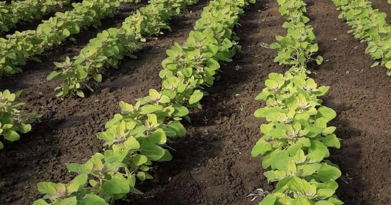 Algosur crece al mismo ritmo que la quinoa