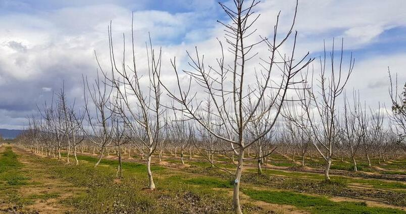 cultivo-nogal-pecano
