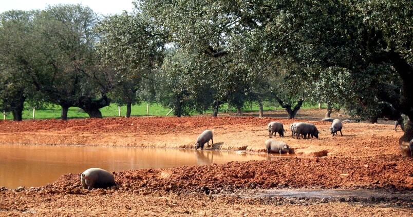 Cerdos en el campo en Salamanca / David Arranz