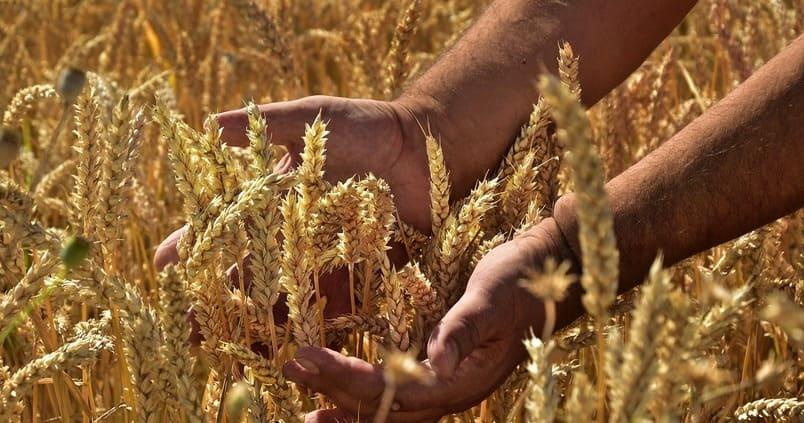 Cultivo de maíz / Agrónoma