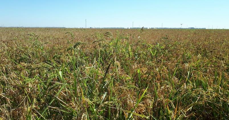 arroz-cultivo-raif