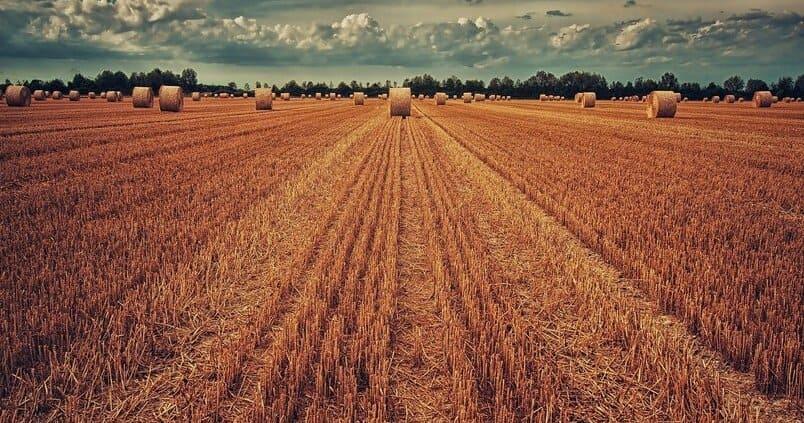 cereales-trigo-cultivo