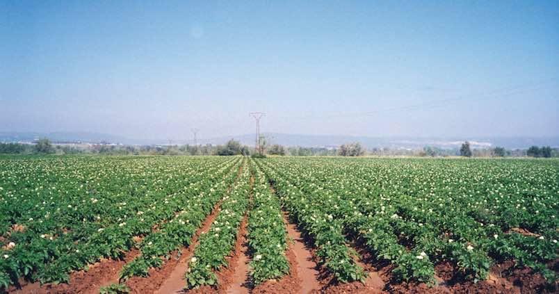 Se ha sembrado un 10% más de patata nueva que el año pasado