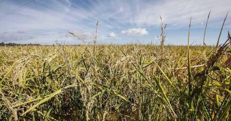 Alivio entre el sector arrocero por poder cobrar el Pago Verde