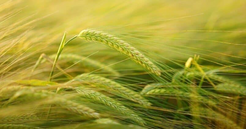 Bajada generalizada de las cotizaciones de los cereales en la Lonja de Albacete