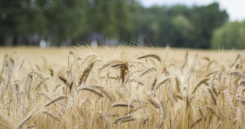 Lonja de Albacete: los cereales vuelven a cotizar e incrementan su precio