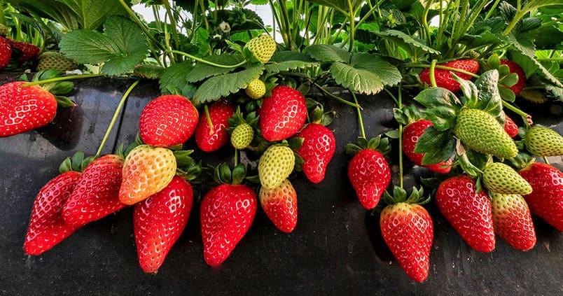 El cultivo hidropónico de la fresa se extiende en Huelva