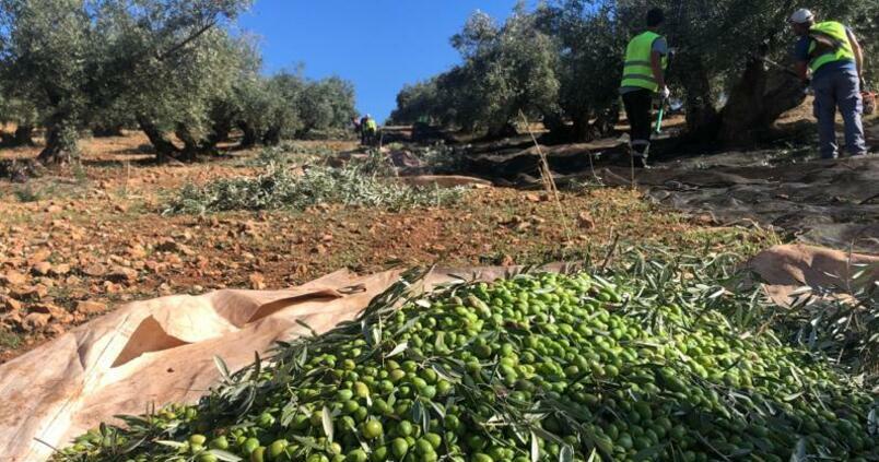 El alperujo como fertilizante: la economía circular llega al olivar