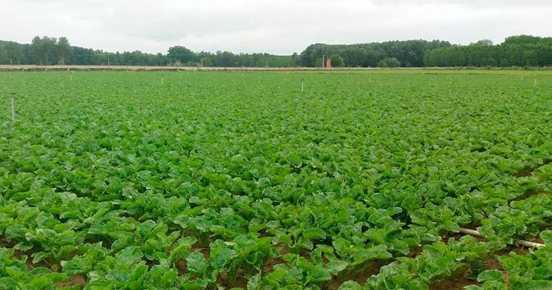 Andalucía supera las 8.100 hectáreas de remolacha sembradas con perspectivas de seguir creciendo
