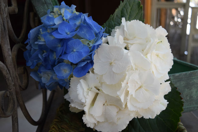 Hortensias para ramos de novia. Foto: Rocío Ponce