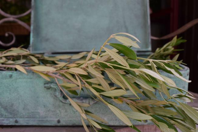 Hojas de olivo para ramos de novia. Foto: Rocío Ponce