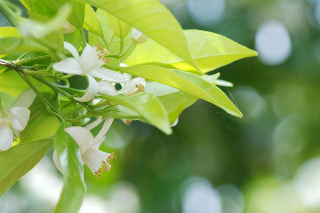 azahar-flor