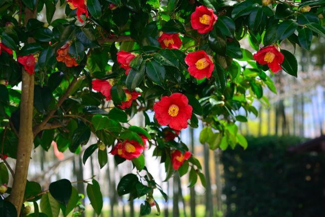 camelias-flor