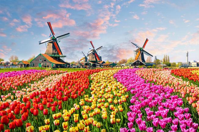 tulipanes-flor